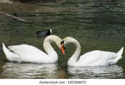 Swans in love with heart shaped necks. Swans making heart pattern. Animal love. Beautiful swans on lake.