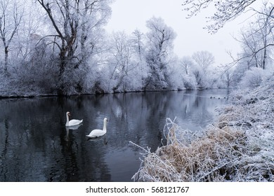 Swans in love - Two swans are swimming on a river, so close to each other, during a freezing cold winter days.