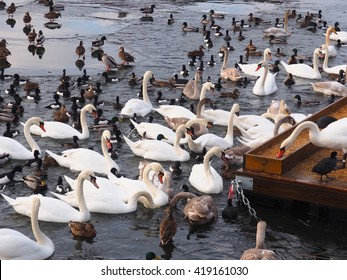 Swans and mallard in the Baltic, Stockholm, Sweden