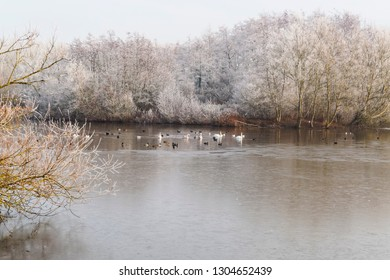 Swans, Mallards, Coots, seagulls and other birds on a partially frozen lake surrounded by frost covered trees