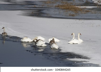 swans migration wild birds
