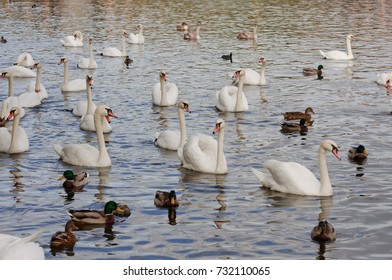 Swans on the autumnal river Vltava in Prague in the late afternoon
