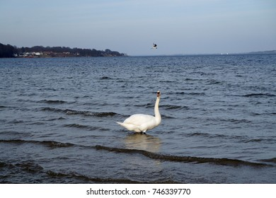 Swans on the Baltic sea