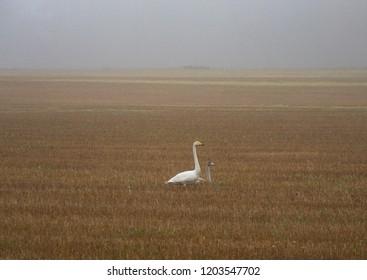 Swans on a field, foggy day, autumn. Cygnus cygnus.