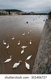 swans on the flooded river Vltava on the background of Prague Castle