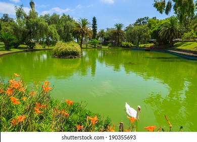 Swans on green water lake in Santa Catarina tropical city park gardens of Funchal, Madeira island, Portugal