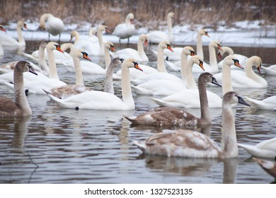 A lot of swans on the lake