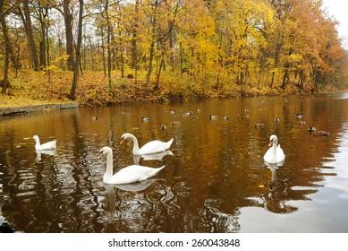 Swans on the lake autumn