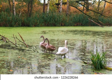 swans on the lake, gray swans on the pond in autumn