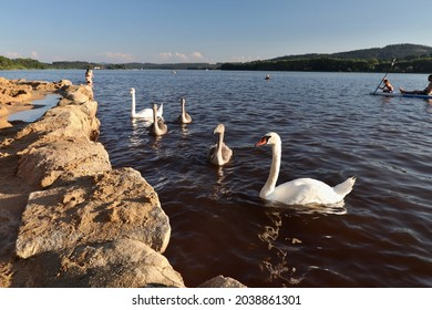 Swans on the lake. Location: Europe, Czechia, Horni Plana (Lipno dam)