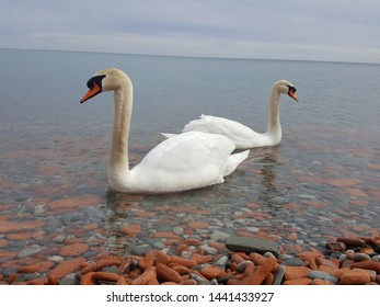 Swans are on lake Ontario