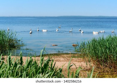 swans on the lake in summer, a flock of waterfowl