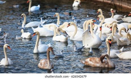 Swans on the lake in Zurich, Switzerland