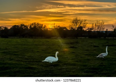 Swans on the river meadow of the river Stour at sunset on the western edge of Sudbury, Suffolk
