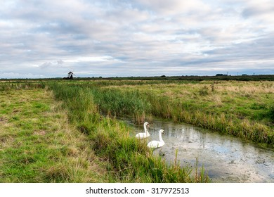 Swans on the Suffolk broads with Herringfleet Windmill in the distance