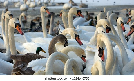 Swans and other birds on the water in winter time