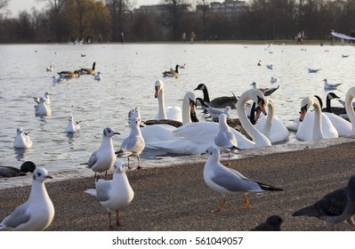 Swans, pigeons, ducks and seagulls