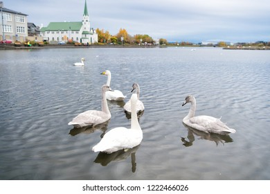 Swans in pond in reykjavik iceland. Swans gorgeous on grey water surface. Animals natural environment. Waterfowl with offspring floating on pond. Swans natural environment concept. Swan gorgeous bird.