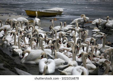 Swans resting on a fragment of an unfrozen river surrounded