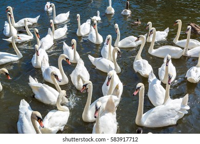 Swans in the river in Stratford-upon-Avon in a beautiful summer day, England, United Kingdom