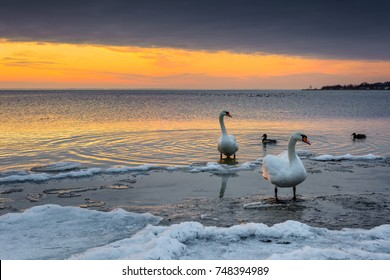 The swans spend the winter on the shore of Baltic Sea.  Sunset time. Poland.