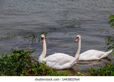 swans swimming in Danube river - Serbia Veliko Gradiste þown