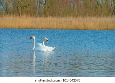 Swans swimming in a lake in winter