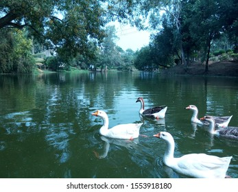 Swans swimming on beautiful natural lake with trees in background reflected on the dark green clear water creating a visual delight