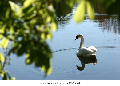swans swimming on a danish lake