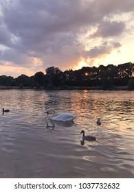 Swans swimming on lake in sunset