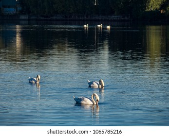 Swans swimming on the river in Drammen, Norway, late summer evening