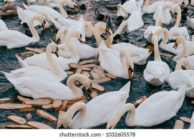 Swans swimming in river. Ducks in water at nature outdoor. Group of beautiful white wild flying birds in city lake waiting for people to feed them. Ornitology wildlife. Urban park with pond.