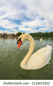 Swans swimming in the Zbilje lake, Slovenia