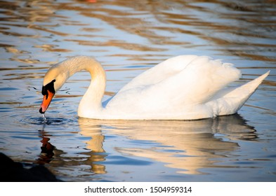 swans are symbol of peace and beauty. they are available in parks and national parks. they are also available  in Eskisehir Sazova Science and Culture Park