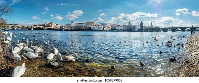Swans in Vltava river and Charles bridge in Prague, Czech republic. Travel destination. Panoramic photo.