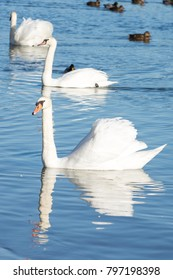 Swans in the water on cold and sunny winter day