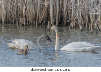 Swans at Wylie Slough