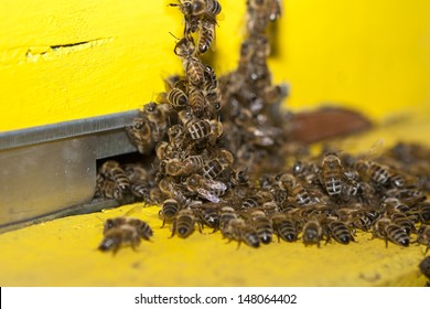 Swarm bee at entry hive