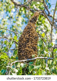 A swarm of bees starts when the colony decides that it is not enough space in the bee hive. They make a new bee queen and the old queen with halfe of the colony is looking for a new place.
