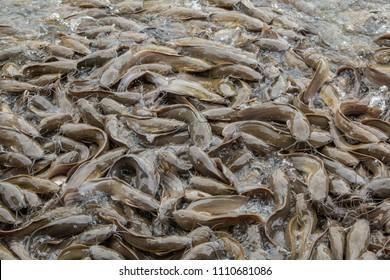 Swarm of catfish in the Fish farm