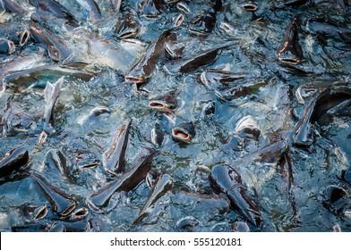 Swarm of catfish in the Fish farming
