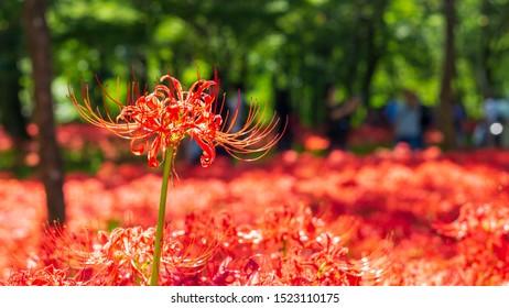 Swarm Cluster amaryllis