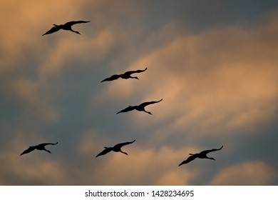 Swarm of cranes in gliding flight during sunset with colorful cloudy sky in the background