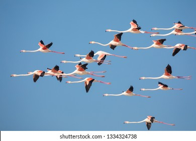 swarm of flying Flamingos in the De Mond coastal nature reserve, South Africa