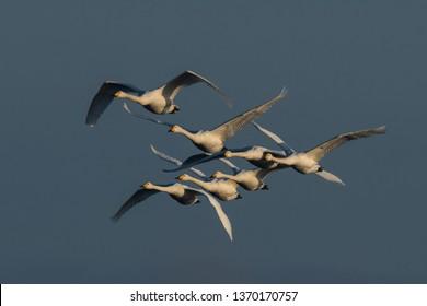 Swarm flying whooper swans, Cygnus cygnus, in winter, Lower Oder Valley National Park, Brandenburg, Germany