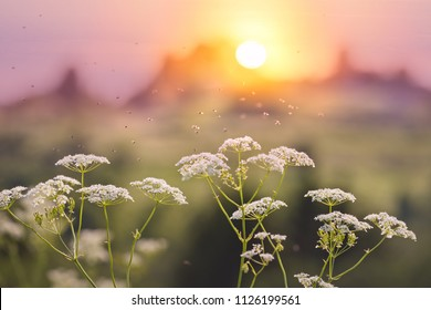 A swarm of gnats dancing in the rays of the setting sun over the flowers of the wild kervel.