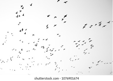 A Swarm of Sea Gulls