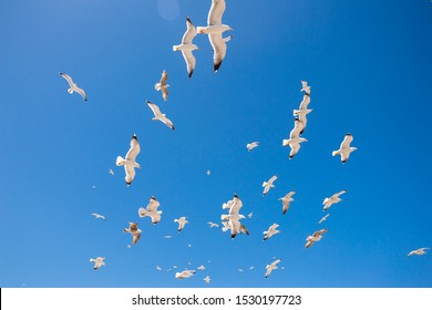 Swarm of seagulls flying in the blue and clear sky