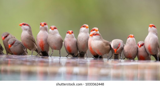 Swarm of small and beautiful Common Waxbill drinking water at a pond