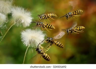 swarm wasps